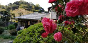 松浦邸 庭の椿